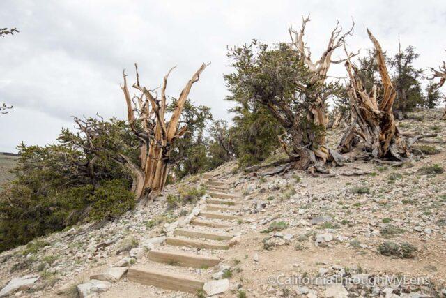 Bristlecone discovery trail-12