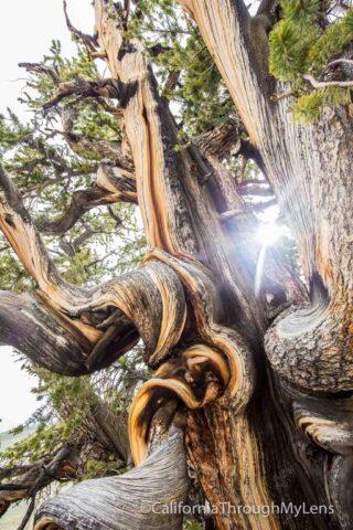 Bristlecone discovery trail-13
