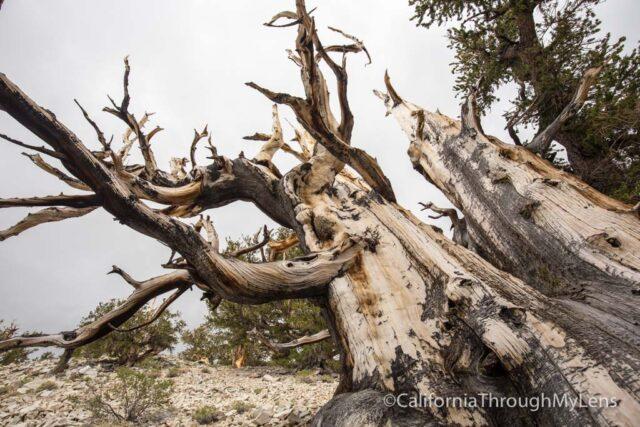 Bristlecone discovery trail-16