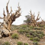 Ancient Bristlecone Forest: Discovery Trail at the Visitors Center