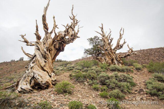 Bristlecone discovery trail-20