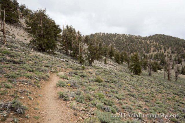 Bristlecone discovery trail-21