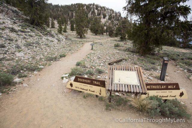 Bristlecone discovery trail-4