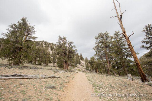 Bristlecone discovery trail-5