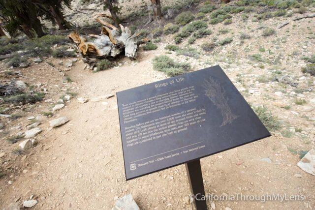 Bristlecone discovery trail-8