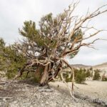 Ancient Bristlecone Forest: Patriarch Grove & the Largest Bristlecone Pine in the World