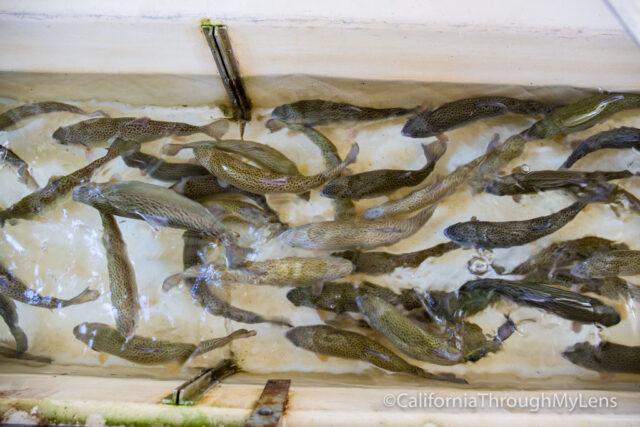 fish hatchery-3