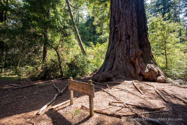 redwood grove big basin-10