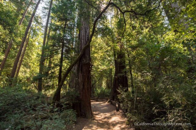 redwood grove big basin-11