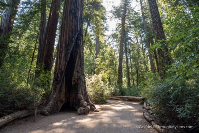 redwood grove big basin-14