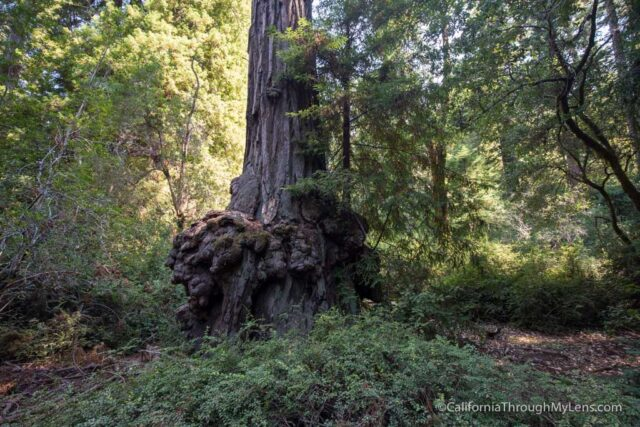redwood grove big basin-15