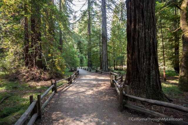 redwood grove big basin-3