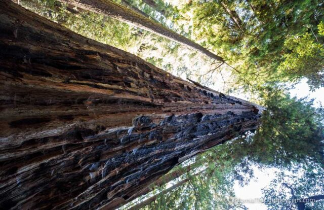 redwood grove big basin-6