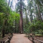 Redwood Grove Trail in Henry Cowell Redwoods State Park