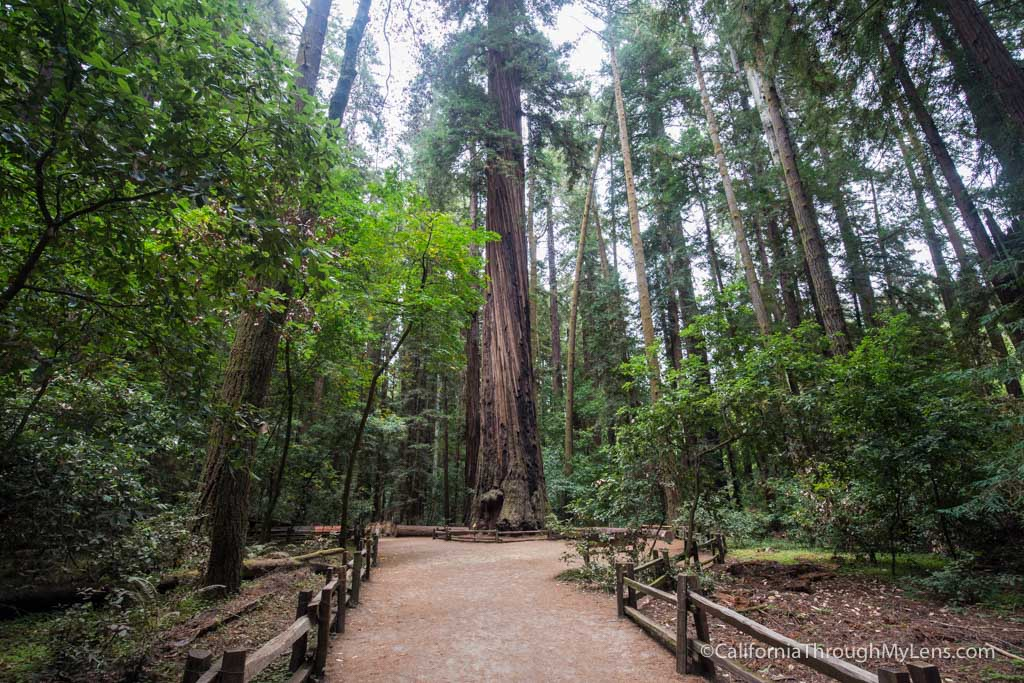 Redwood Grove Trail in Henry Cowell Redwoods State Park - California on