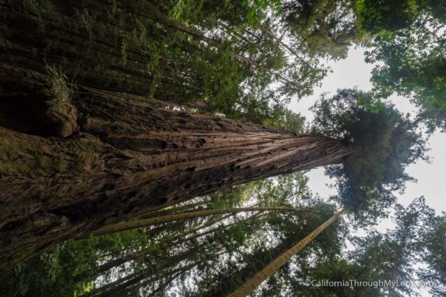 redwood grove henry cowell-12