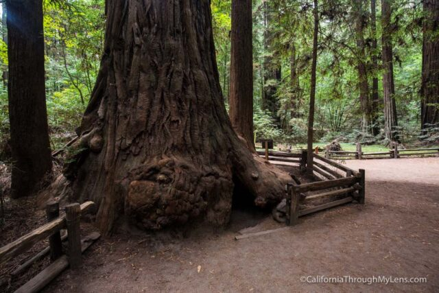 redwood grove henry cowell-14