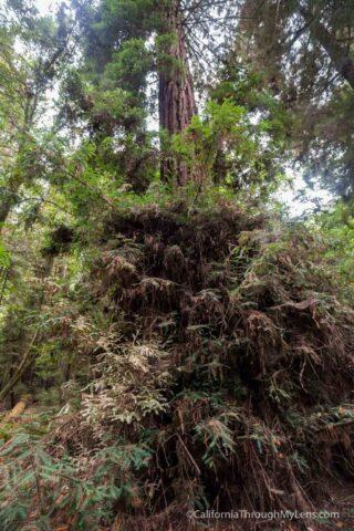 redwood grove henry cowell-19