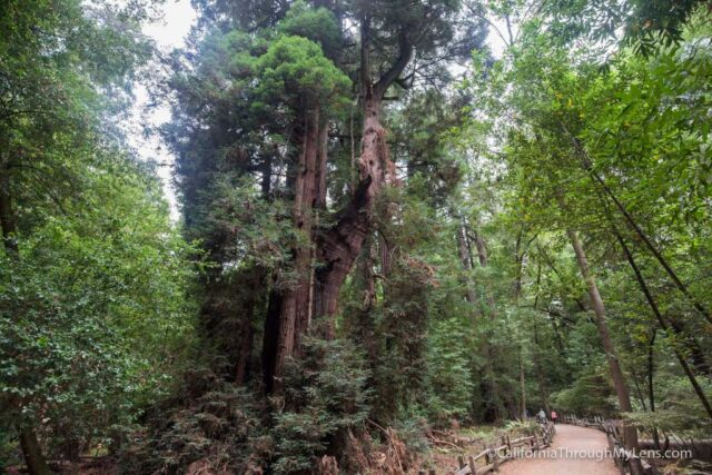 redwood grove henry cowell-20