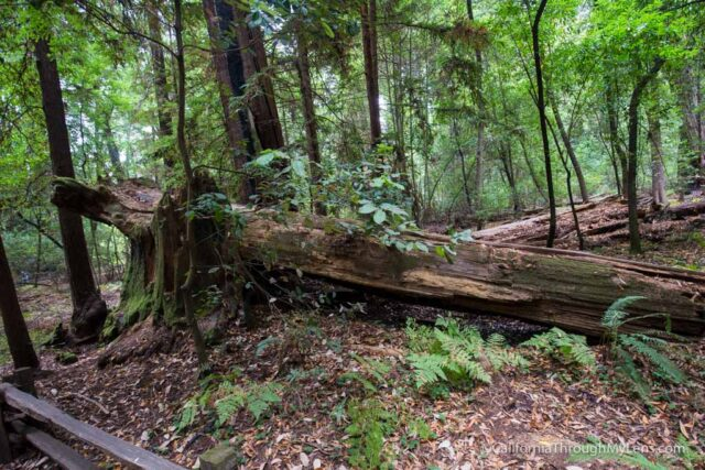 redwood grove henry cowell-3