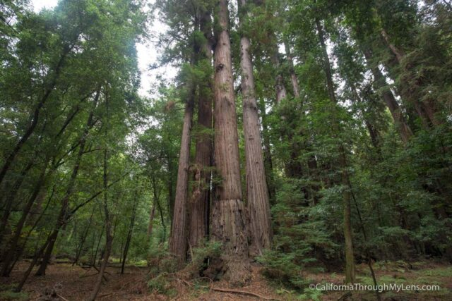 redwood grove henry cowell-4