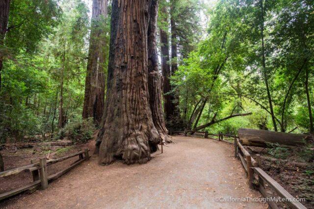 redwood grove henry cowell-5