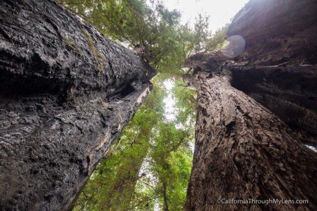 redwood grove henry cowell-6