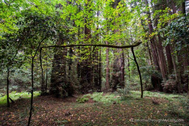 redwood grove henry cowell-9