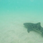 Snorkeling with the Leopard Sharks in La Jolla