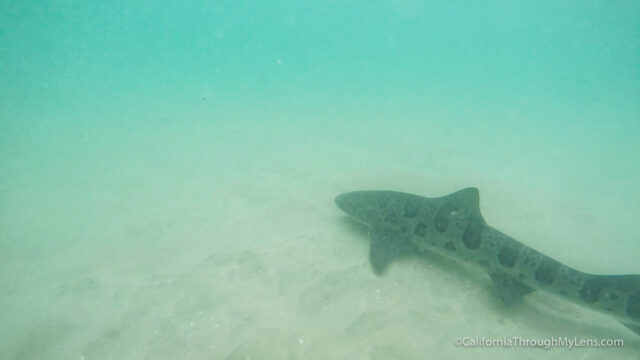 leopard-sharks-10