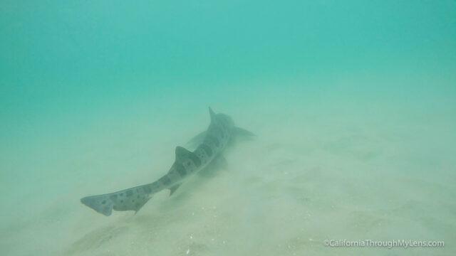 leopard-sharks-2