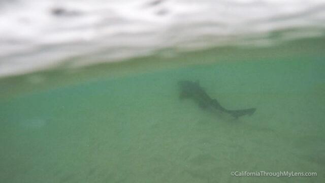 leopard-sharks-3