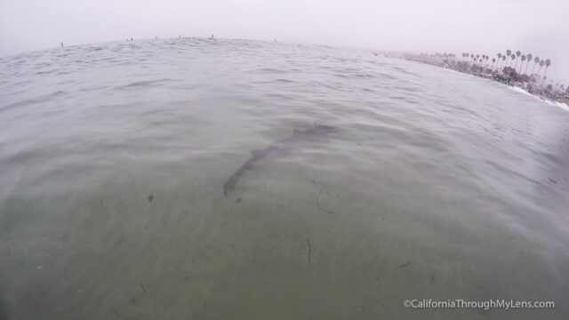 leopard-sharks-7