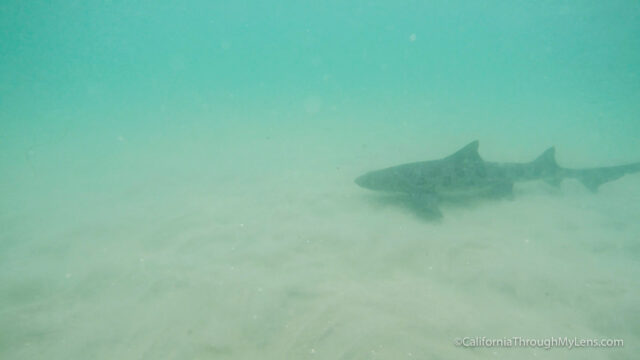 leopard-sharks-9