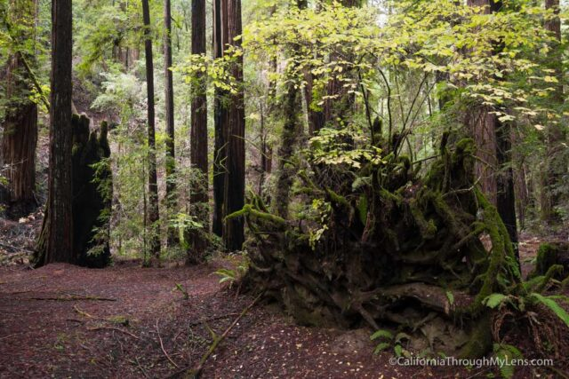 armstrong-redwoods-5