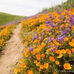 Where to See Wildflowers in Chino Hills State Park