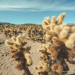 Cholla Cactus Gardens in Joshua Tree National Park