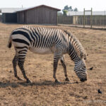 B. Bryan Preserve: Conservation and Giraffe Kisses in Point Arena